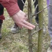 obrezati drevje